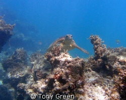 Sea turtle appearing over coral. by Tony Green