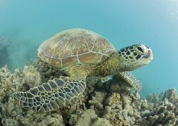Green turtle. Lowe islands. D200, 10.5mm. by Derek Haslam