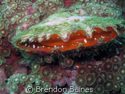 My what a big mouth you have. Clam taken in the Mussamda... by Brendon Baines