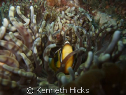 Clown Fish by Kenneth Hicks