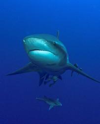 Zambexi shark taken at Pinnacles in Ponta da Oura, Mozamb... by Charles Wright