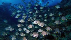 More White-Spotted Surgeonfish schooling in a surge zone ... by Martin Dalsaso