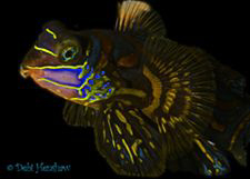 """Fancy Dress"" Not your typical Mandarinfish :o) by Debi Henshaw"