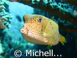 Yellow boxfish with puckering lips @Cina Terjun, Redang ,... by Michelle Choong_khoo