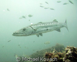 Another shot of a barracuda off the beach at Fort Lauderdale by Michael Kovach