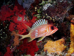 This image of a Squirrelfish was taken in 2006 in Cozumel... by Steven Anderson