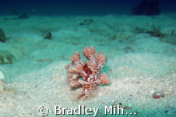 Nudibranch off the island of Malapasua in the philippines by Bradley Mihelich