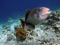 Trigger fish defending its nesting area, Sipadan. I still... by Garnet Hooper