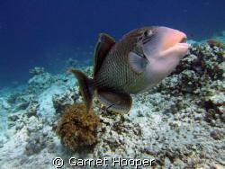 Trigger fish defending its nesting area, Sipadan. I still... by Garnet Hooper