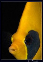 golden butterflyfish (Chaetodon semilarvatus) by Sven Tramaux