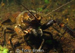 Koura, freshwater crayfish at lake Rotoiti, Bay of plenty... by Tony Breen