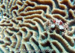 Boxing crab in Bunaken National Park, Sulawesi. Taken wit... by Morgan Ashton