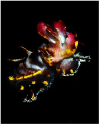 Flamboyant Cuttlefish caught at a rare moment in mid water by Michel De Ruyck