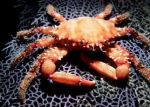 Crab on sea fan taken with 17mm & Nikonos V - night - Roatan by george perina