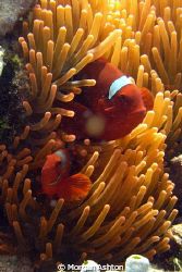 Tomato anemonefish near Siladen Island in Bunaken, Taken ... by Morgan Ashton