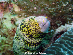 Rare Snowflake Moray eel in the mussamdam by Brendon Baines