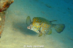 Gimme a kiss! Young boxfish in Safaga. by Andy Hamnett