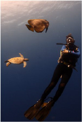 Trio of diver green turtle and batfish. by Michel De Ruyck