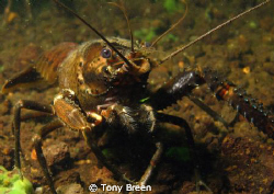 Koura, freshwater cray. Agro bugger attacked me. by Tony Breen