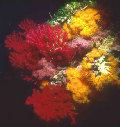 Red & Yellow. Red gorgonian (Paramuricea clavata) and yel... by Alberto Romeo