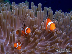 'Three Nemos' (Amphiprion ocellaris) - Moyo island, Indon... by Marco Waagmeester