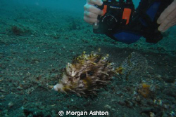 Capturing the hairy filefish in Lembeh. Taken with a Sea ... by Morgan Ashton