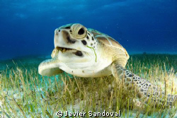 green sea turtle eating sea grass Cancun Mexico by Javier Sandoval