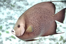 Angel fish in Jardines, Playa del Carmen. Taken with Niko... by Davide Vimercati