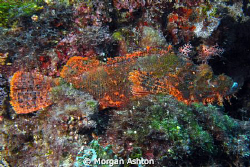 Rust red stonefish. Somehow, I don't think he's hiding ve... by Morgan Ashton