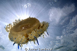 Jellyfish with sun behind by Javier Sandoval