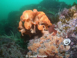 Another Pentapora, surrounded by the sponge Hemimycale co... by Garnet Hooper