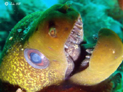 Undulated Moray coming for a look!  Sony Cyber shot by John Hill