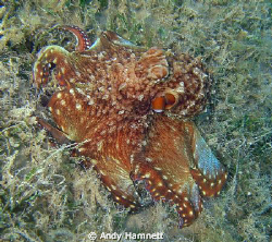 Octopus while snorkeling. Safaga. by Andy Hamnett