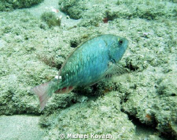 Parrotfish on the Inside Reef at Lauderdale by the Sea by Michael Kovach