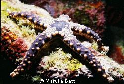 Small Purple star fish.  Nikonos V 1:2 extension tube by Marylin Batt