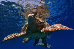 green turtle going for a sip of air by Michel De Ruyck