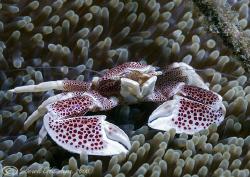 Porcelain crab. Lembeh. D200, 60mm. by Derek Haslam