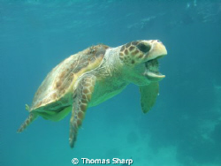 Loggerhead Turtle with puffer in mouth by Thomas Sharp