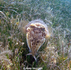 Cuttlefish in seagrass by Andy Hamnett