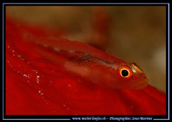 A very small Symbiotic Gobie on a Red Spong. They really ... by Michel Lonfat