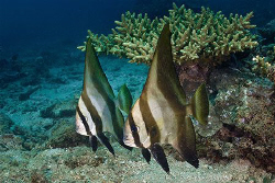 Pair of juvenile Batfish.  Ningaloo Reef, Western Austral... by Ross Gudgeon