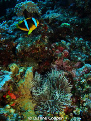 Another beautiful Fiji dive shot. by Dianne Cooper