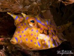 Thorny-back cowfish (Lactoria fornasini) - Crystal bay, N... by Marco Waagmeester
