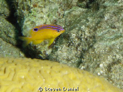 Juvenile Rock Beauty swimming around a smal coral head ne... by Steven Daniel