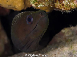 Undulated Moray by Cigdem Cooper