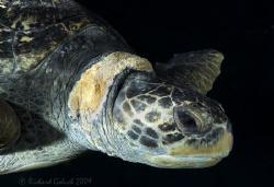 Green Sea Turtle-Kauai by Richard Goluch