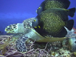 I was making underwater video in Cozumel last week and ca... by Richard Adkins