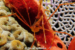 Spider Crab shot quite close with Subal system, (2) Inon ... by David Hoffman