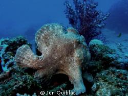 Frogfish. Duka Bay, C7070 by Jun Quiblat