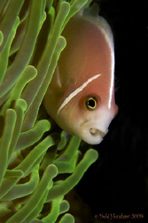 """""""Damsel in Distress"""" yet another clownfish with a parasit... by Debi Henshaw"""